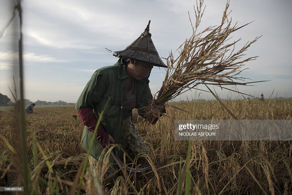This picture taken on November 15, 2012 shows a Myanmar woman harvesting rice at a paddy field on the outskirts of Bago, around 80 km north of Yangon. Rice exports from Myanmar may more than double to 1.5 million metric tons this year, an industry group forecast, highlighting the country's potential to boost overseas trade as its government pursues reform. AFP PHOTO/ Nicolas ASFOURI