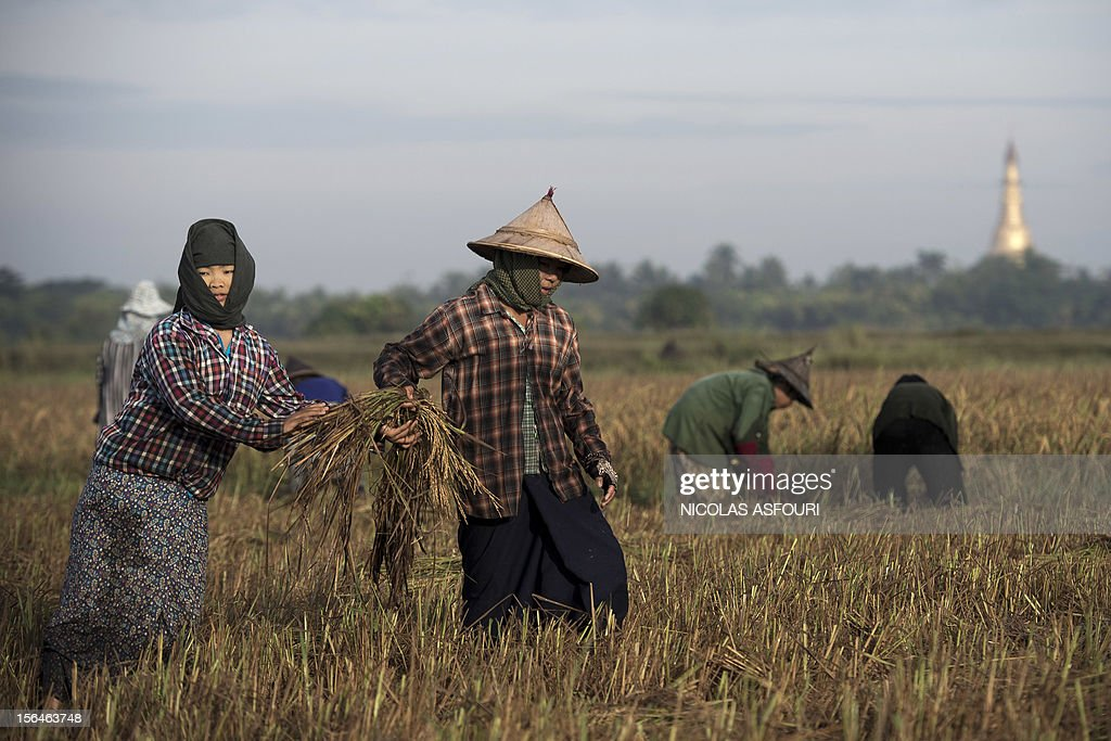 This picture taken on November 15, 2012 shows Myanmar woman harvesting rice at a paddy field on the outskirts of Bago, around 80 km north of Yangon. Rice exports from Myanmar may more than double to 1.5 million metric tons this year, an industry group forecast, highlighting the country's potential to boost overseas trade as its government pursues reform. AFP PHOTO/ Nicolas ASFOURI