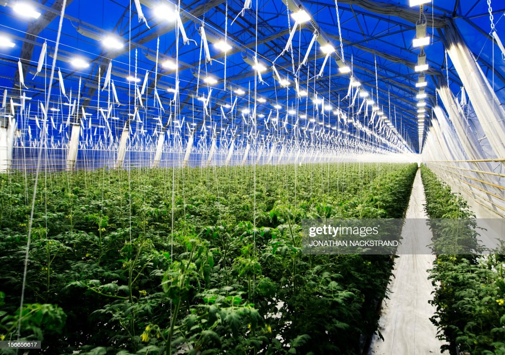 This picture taken on November 18, 2012 shows tomatoes planted in a greenhouse at the Nybyn village, north of Lulea, in Swedish Lapland. AFP PHOTO/JONATHAN NACKSTRAND