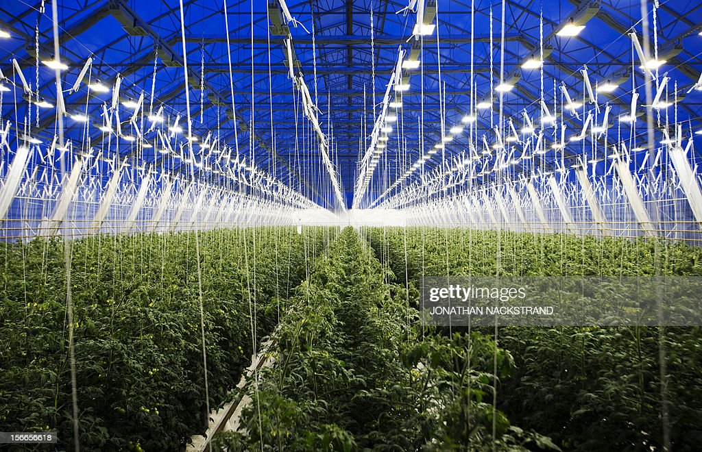 This picture taken on November 18, 2012 shows tomatoes planted in a greenhouse at the Nybyn village, north of Lulea, in Swedish Lapland.