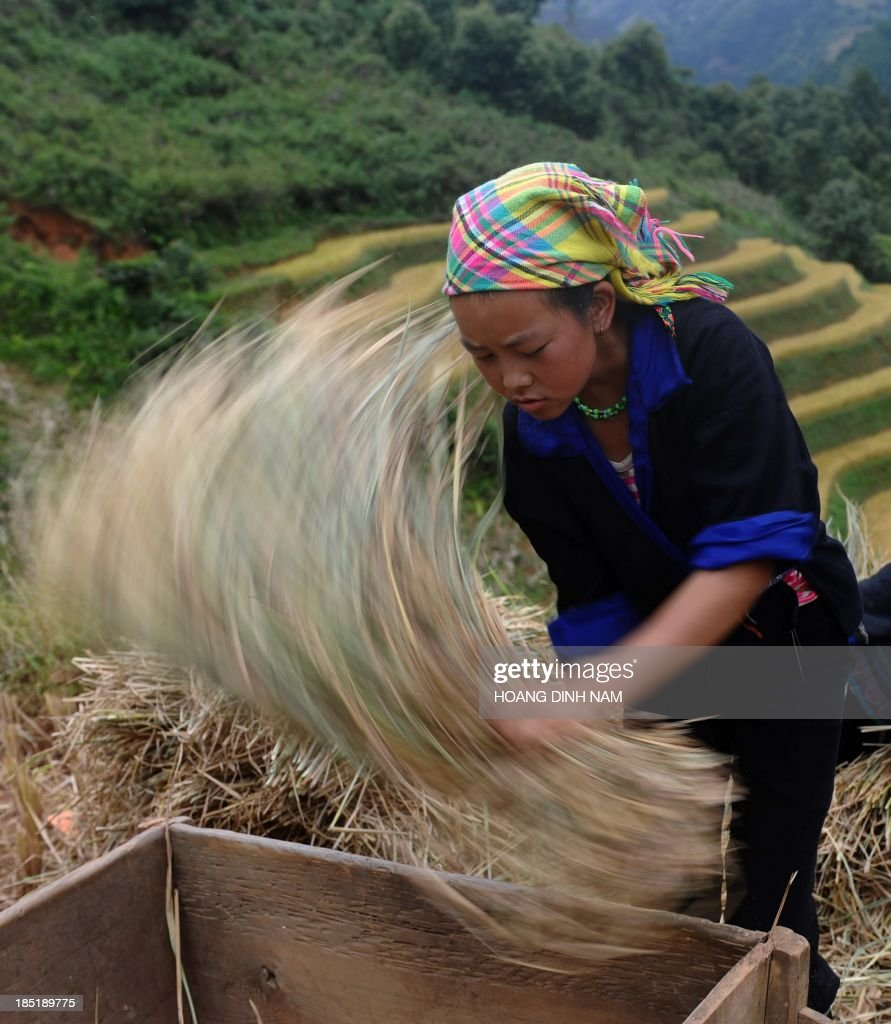 This picture taken on October 1 2013 shows a Hmong ethnic hill tribe woman harvesting rice on a terrace rice field in Mu Cang Chai district in the...