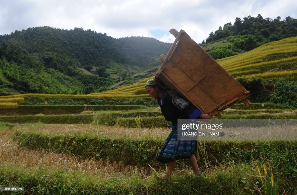 This picture taken on October 1 2013 shows a Hmong ethnic hilltribe woman carrying a wooden box used to thresh bunches of paddy on a terrace rice...
