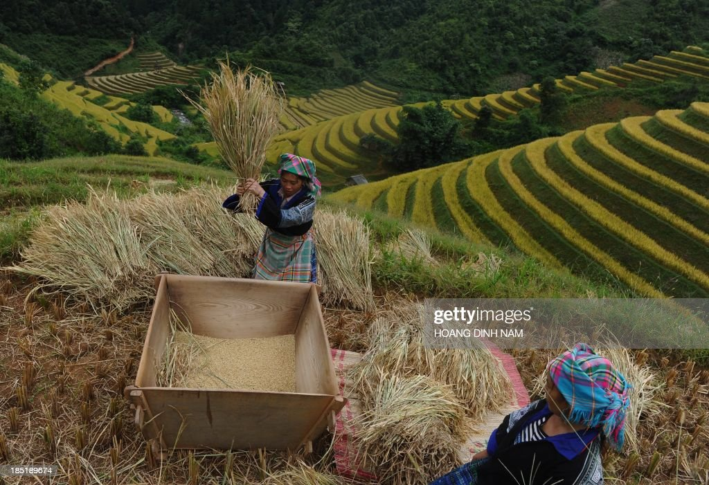 This picture taken on October 1 2013 shows Hmong ethnic hill tribe women harvesting rice on a terrace rice field in Mu Cang Chai district in the...