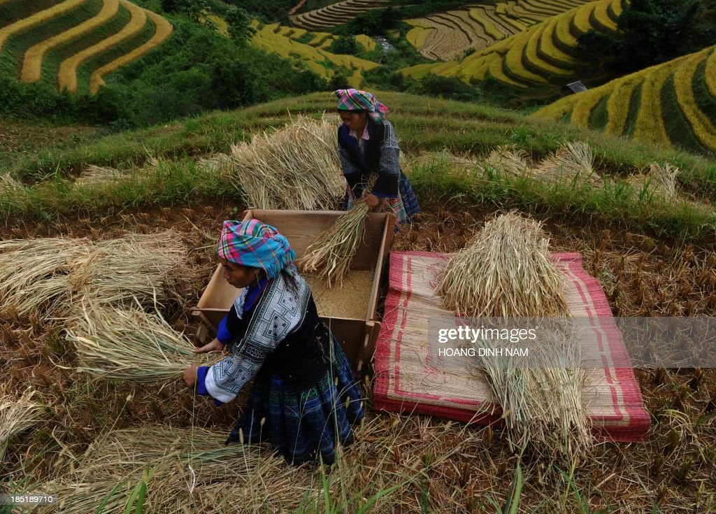 This picture taken on October 1, 2013 shows Hmong ethnic hilltribe women thrashing bunches of paddy against a wooden box as they harvest rice on a terrace rice field in Mu Cang Chai district, in the northern mountainous province of Yen Bai. The local residents, mostly from the Hmong hill tribe, grow rice in the picturesque terrace fields whose age is estimated to hundreds years. Due to hard farming conditions, especially irrigation works, locals produce only one rice crop per year. In recent years a growing numbers of tourists have been attracted by the beautiful landscapes created by the region's rice terrace fields. AFP PHOTO/HOANG DINH Nam