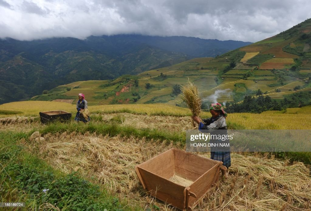 This picture taken on October 1 2013 shows Hmong ethnic hilltribe women thrashing bunches of paddy against a wooden box as they harvest rice on a...