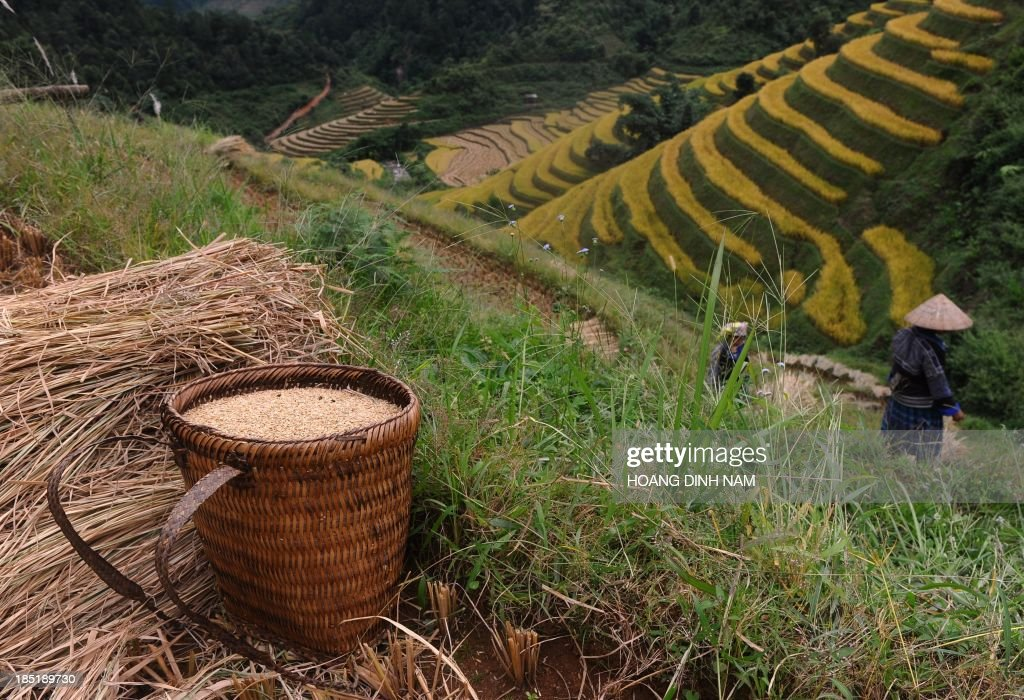 This picture taken on October 1 2013 shows Hmong ethnic hilltribe women harvesting rice on a terrace rice field in Mu Cang Chai district in the...