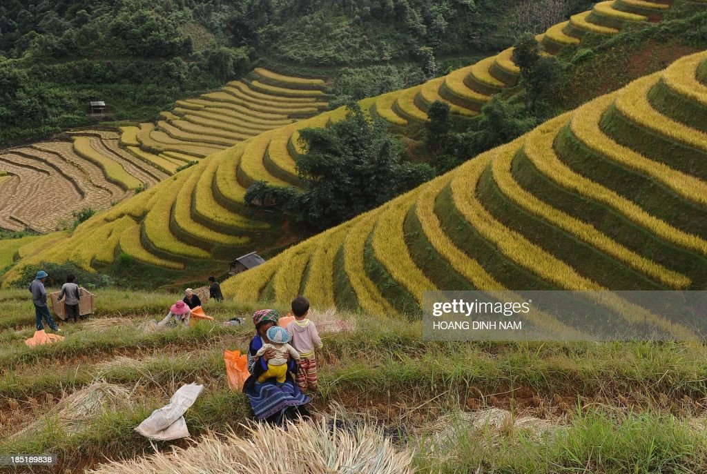 This picture taken on October 1, 2013 shows Hmong ethnic hilltribe families harvesting rice on a terrace rice field in Mu Cang Chai district, in the northern mountainous province of Yen Bai. The local residents, mostly from the Hmong hill tribe, grow rice in the picturesque terrace fields whose age is estimated to hundreds years. Due to hard farming conditions, especially irrigation works, locals produce only one rice crop per year. In recent years a growing numbers of tourists have been attracted by the beautiful landscapes created by the region's rice terrace fields. AFP PHOTO/HOANG DINH Nam