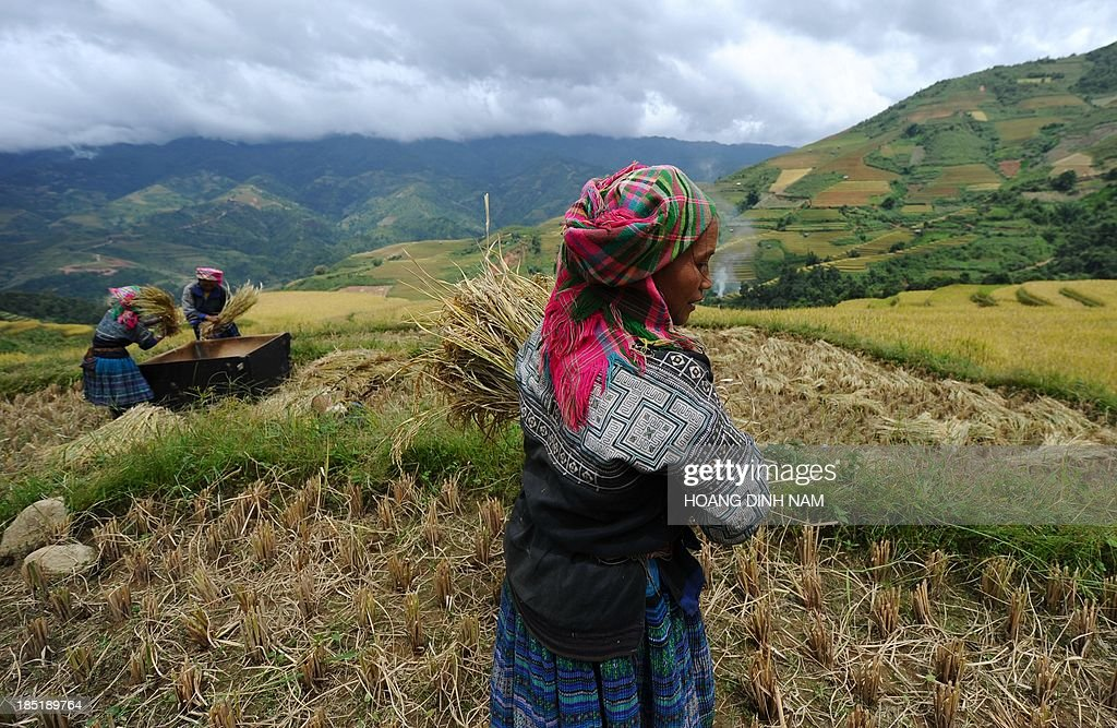 This picture taken on October 1 2013 shows Hmong hill tribe women harvesting rice on terrace rice fields in Mu Cang Chai district in the northern...