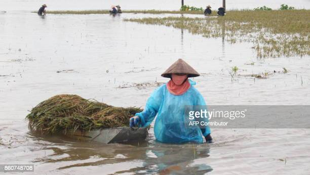 TOPSHOT This picture taken on October 12 2017 shows a farmer pulling a boat loaded with harvested paddy on a flooded rice field in the northern...