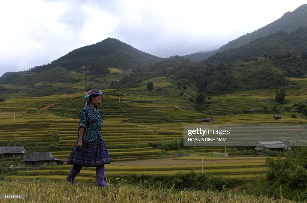 This picture taken on October 2 2013 shows a Hmong ethnic hill tribe woman walking on a terrace rice field in Mu Cang Chai district in the northern...