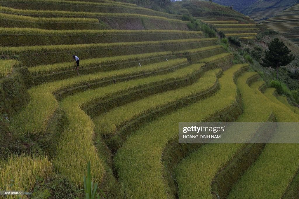 This picture taken on October 2 2013 shows a Hmong ethnic hill tribe man harvesting rice on a terrace rice field in Mu Cang Chai district in the...