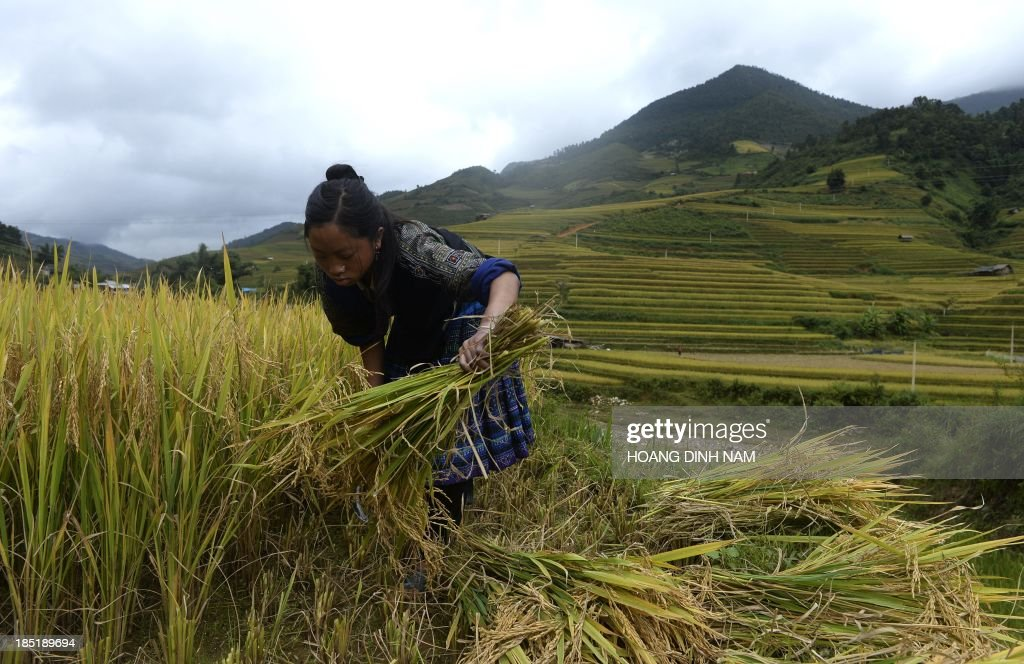 This picture taken on October 2, 2013 shows a Hmong ethnic hill tribe woman harvesting rice on a terrace rice field in Mu Cang Chai district, in the northern mountainous province of Yen Bai. The local residents, mostly from the Hmong hill tribe, grow rice in the picturesque terrace fields whose age is estimated to hundreds years. Due to hard farming conditions, especially irrigation works, locals produce only one rice crop per year. In recent years a growing numbers of tourists have been attracted by the beautiful landscapes created by the region's rice terrace fields. AFP PHOTO/HOANG DINH Nam