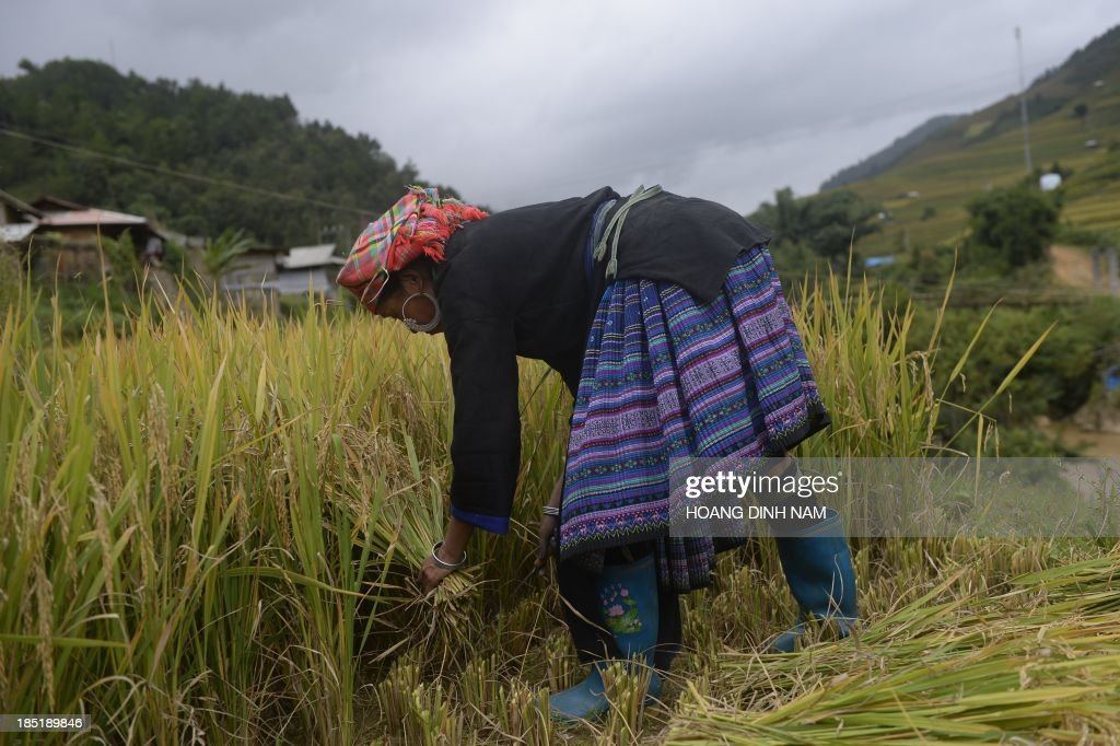 This picture taken on October 2 2013 shows a Hmong ethnic hill tribe woman harvesting rice on a terrace rice field in Mu Cang Chai district in the...