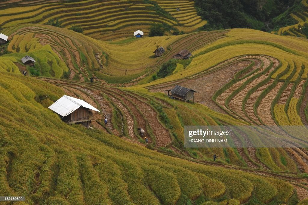 This picture taken on October 2, 2013 shows Hmong hill tribe familes working on terrace rice fields in Mu Cang Chai district, in the northern mountainous province of Yen Bai. The local residents, mostly from the Hmong hill tribe, grow rice in the picturesque terrace fields whose age is estimated to hundreds years. Due to hard farming conditions, especially irrigation works, locals produce only one rice crop per year. In recent years a growing numbers of tourists have been attracted by the beautiful landscapes created by the region's rice terrace fields. AFP PHOTO/HOANG DINH Nam