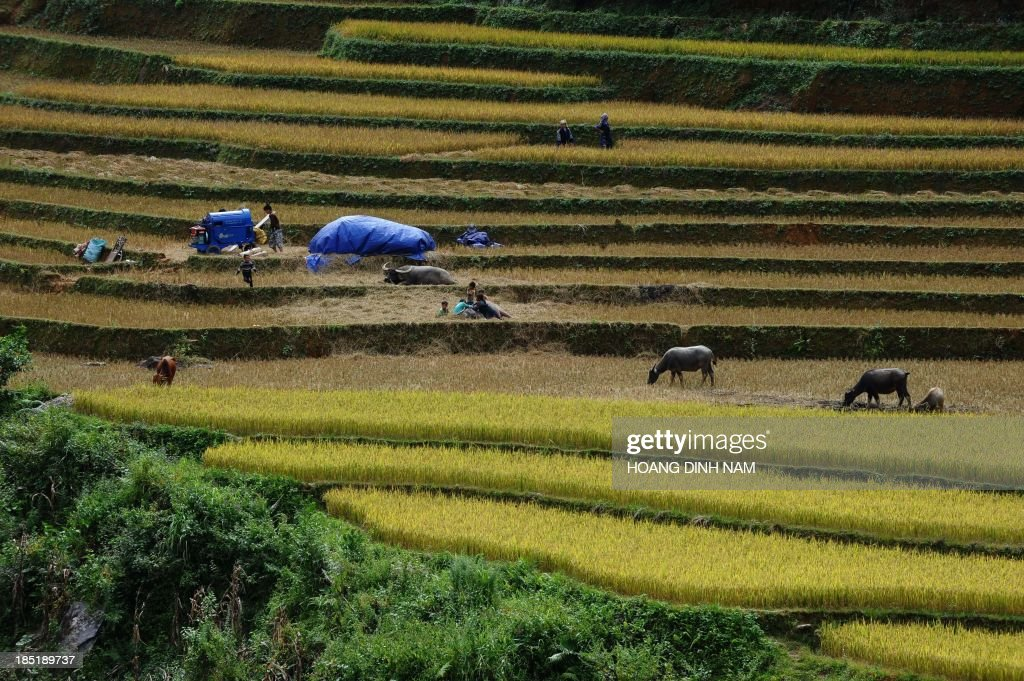 This picture taken on October 2, 2013 shows Hmong hill tribe families harvesting rice on terrace rice fields in Mu Cang Chai district, in the northern mountainous province of Yen Bai. The local residents, mostly from the Hmong hill tribe, grow rice in the picturesque terrace fields whose age is estimated to hundreds years. Due to hard farming conditions, especially irrigation works, locals produce only one rice crop per year. In recent years a growing numbers of tourists have been attracted by the beautiful landscapes created by the region's rice terrace fields. AFP PHOTO/HOANG DINH Nam