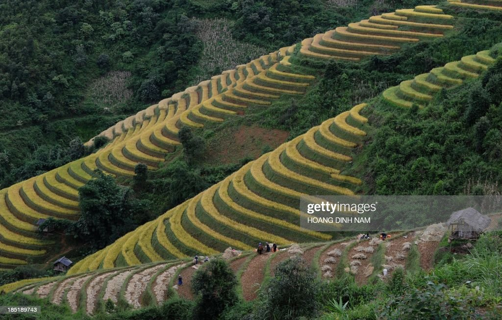 This picture taken on October 2 2013 shows Hmong hill tribe families harvesting rice on terrace rice fields in Mu Cang Chai district in the northern...