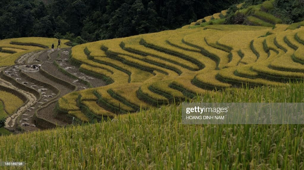 This picture taken on October 2 2013 shows terrace rice fields in Mu Cang Chai district in the northern mountainous province of Yen Bai The local...