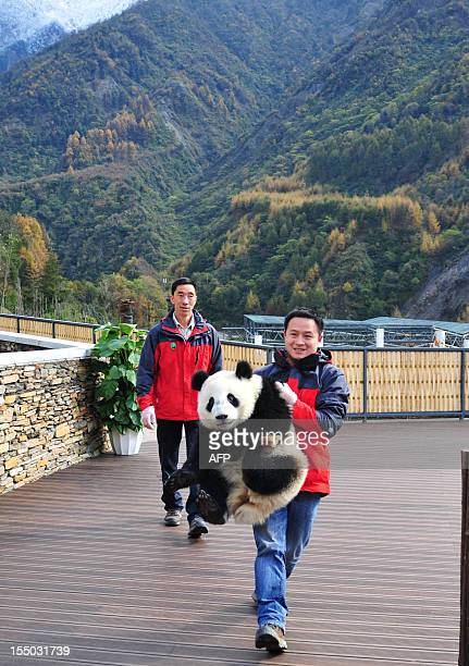 This picture taken on October 30 2012 shows a giant panda being carried by a keeper in its new home in the Wolong National Nature Reserve in Wolong...
