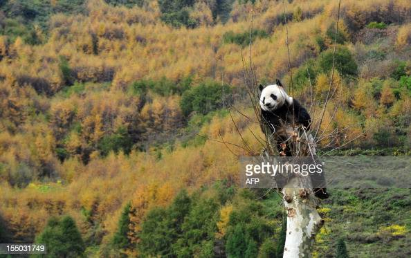 This picture taken on October 30 2012 shows a giant panda climbing a tree in its new home in the Wolong National Nature Reserve in Wolong southwest...