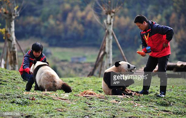 This picture taken on October 30 2012 shows two giant pandas being fed by their handlers in their new home in the Wolong National Nature Reserve in...