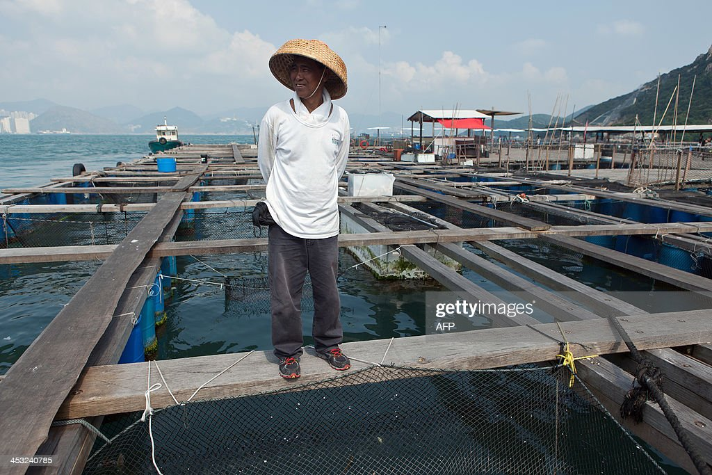 This picture taken on October 9 2013 shows 55year old Ming ChengWah who was a fisherman until 2004 standing on a plank of wood above netted fish...
