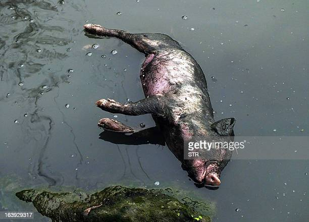 This picture taken on on March 12 2013 shows a dead pig lying in a dirty tributary of the Yangtze River in a village in Yichang in central China's...