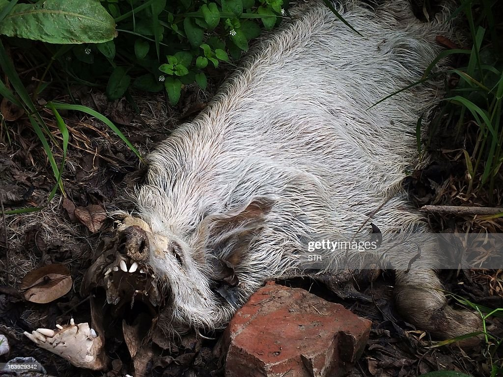 This picture taken on on March 12, 2013 shows a dead pig lying next to a dirty tributary of the Yangtze River in a village in Yichang, in central China's Hebei province, some 1,200 kms from the eastern city of Shanghai. Meanwhile, the number of dead pigs found in the Huangpu river running through China's commercial hub Shanghai has reached more than 13,000, state media said on March 18, as mystery deepened over the hogs' precise origin. GRAPHIC CONTENT CHINA OUT AFP PHOTO