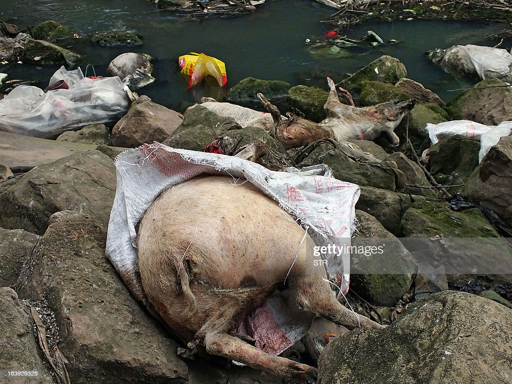 This picture taken on on March 12, 2013 shows dead pigs lying on rocks next to a dirty tributary of the Yangtze River in a village in Yichang, in central China's Hebei province, some 1,200 kms from the eastern city of Shanghai. Meanwhile, the number of dead pigs found in the Huangpu river running through China's commercial hub Shanghai has reached more than 13,000, state media said on March 18, as mystery deepened over the hogs' precise origin. GRAPHIC