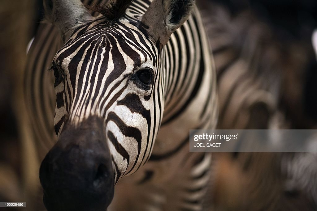 This picture taken on September 16, 2014 shows a stuffed zebra in the Evolution's great gallery of the Museum of Natural History in Paris. The Evolution's great gallery celebrates this year its 20th anniversary. AFP PHOTO/JOEL SAGET