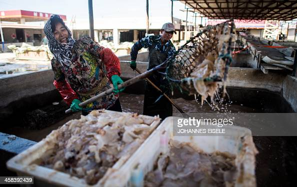 This picture taken on September 17 2016 shows women sorting jellyfish into plastic boxes at a jellyfish pickle factory in Xianrendao next to Yingkou...