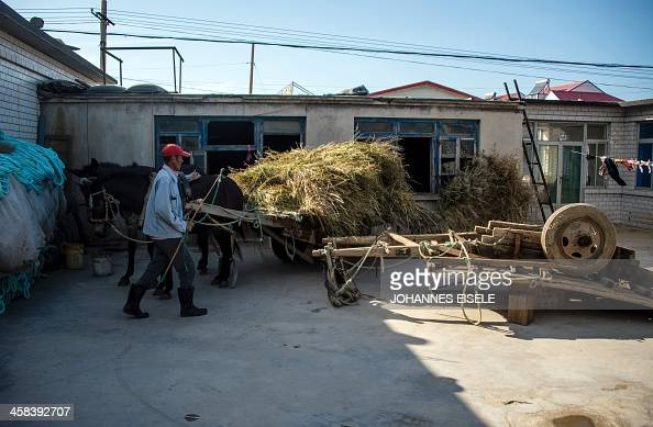 This picture taken on September 18 2016 shows Qin Yusheng taking care of his mules in his yard next to the stables in Xianrendao next to Yingkou City...