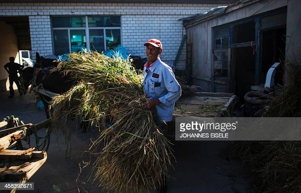 This picture taken on September 18 2016 shows Qin Yusheng unloading food for his mules from his horse cart in his yard next to the stables in...