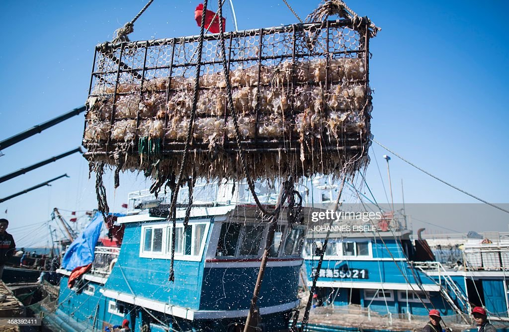 This picture taken on September 19, 2016 shows boats of fishermen unloading their jellyfishes harvest on to trucks in Xianrendao next to Yingkou City in China's northeastern Liaoning province. For decades, equine-powered carts have trundled through the shallow waters off the peninsula near Xianrendao to meet shallow-keeled trawlers piled high with jellyfish, which teem in the waters of the Yellow Sea. Now Qin, 55, and his last two mules are ready to retire, as the area's traditional way of life slides into history. EISELE