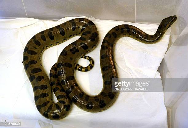 This picture taken on September 20 2010 in Wroclaw shows an anaconda held in quarantine at the zoo after it was discovered by a woman in her...