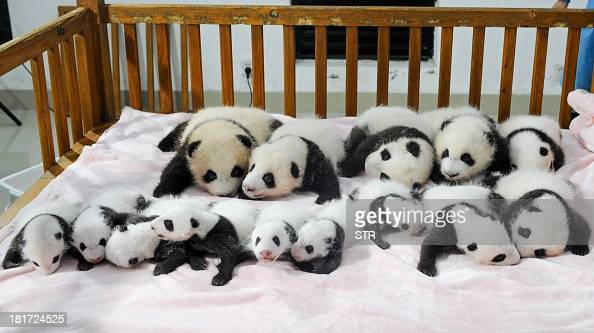 This picture taken on September 23 2013 shows newborn panda cubs displayed on a crib during a press conference at the Chengdu Research Base of Giant...