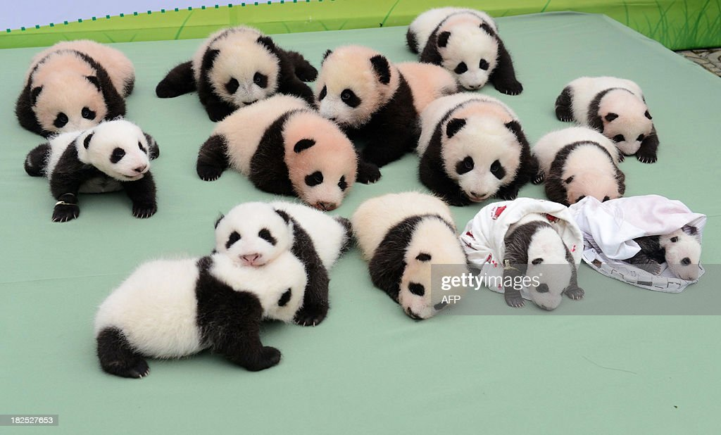 This picture taken on September 29 2013 shows 14 panda cubs displayed on a stage at China Research and Conservation Center for the Giant Panda in...