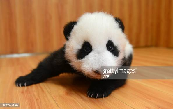 This picture taken on September 29 2013 shows a panda cub at China Research and Conservation Center for the Giant Panda in Wolong southwest China's...