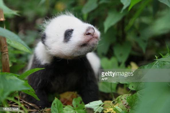 This picture taken on September 29 2013 shows a panda cub at the China Research and Conservation Center for the Giant Panda in Wolong southwest...