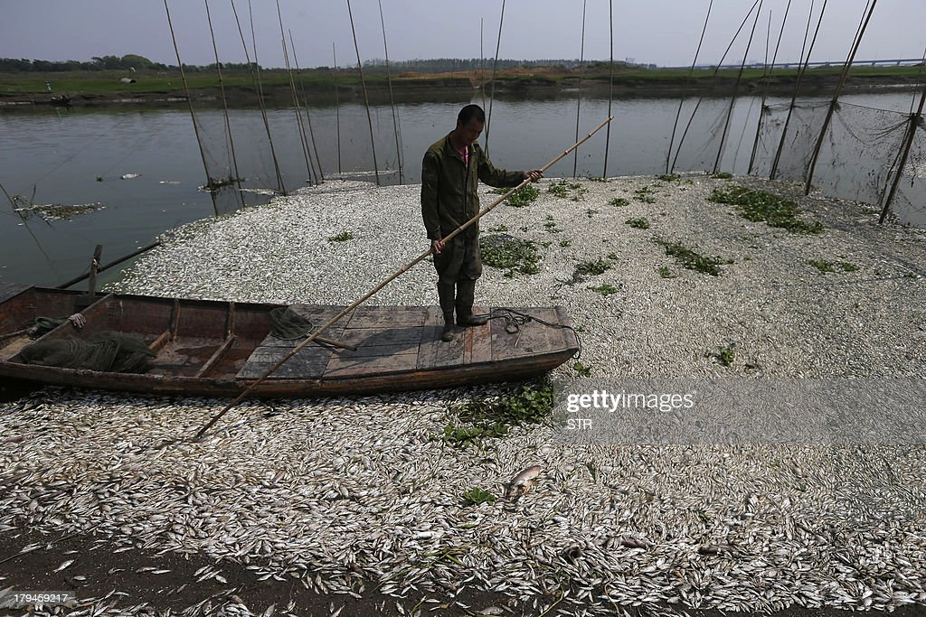 This picture taken on September 3, 2013 shows a fisherman looking at the dead fish floating on the Fuhe river in Wuhan, in central China's Hubei province after large amounts of dead fish began to be surface early the day before. Hundreds of thousands of dead fish were left floating in the Chinese river after a chemical discharge, officials said on September 4, the latest industrial accident to pollute the country's battered environment. CHINA