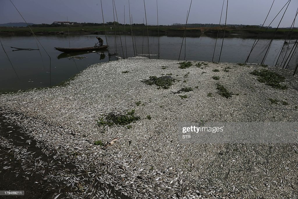 This picture taken on September 3, 2013 shows dead fish floating on the Fuhe river in Wuhan, in central China's Hubei province after large amounts of dead fish began to be surface early the day before. Hundreds of thousands of dead fish were left floating in the Chinese river after a chemical discharge, officials said on September 4, the latest industrial accident to pollute the country's battered environment. CHINA OUT AFP PHOTO