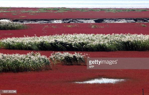This picture taken on September 30 2012 shows the Red beach scenic area in Panjin northeast China's Liaoning province The beach gets its name from...