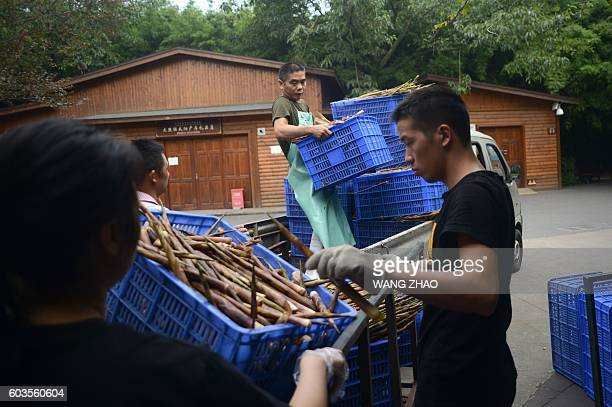 This picture taken on September 9 2016 shows a group of workers unloading bamboo at the Chengdu Research Base of Giant Panda Breeding in China's...