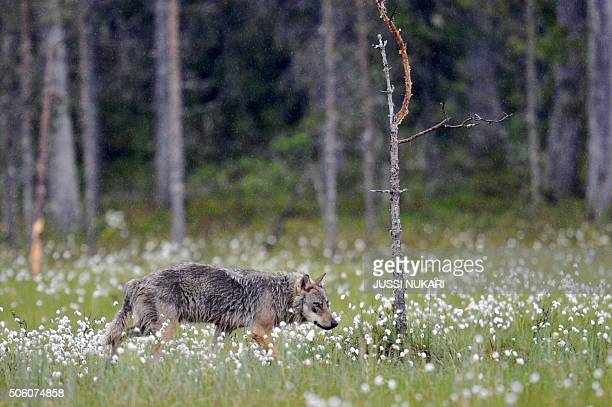 This picture takien on June 17 2011 shows a wolf near the Russian border in Kuhmo Finland Finnish hunters have been authorised to kill nearly 20...