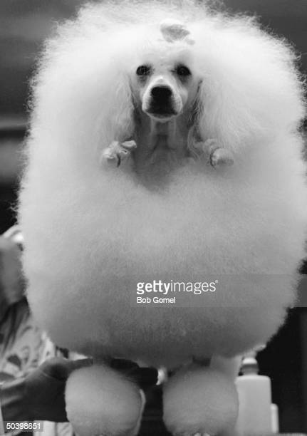 This poodle Top Billing won BestIn Breed at the Westminster Kennel Club Show