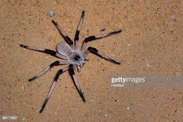 This recent handout photo provided by the University of Haifa on January 12 shows a new and previously unknown species of spider in the dune of the...