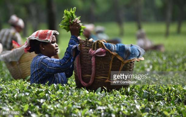 This September 13 2017 photo shows an Indian tea worker plucking leaves at a tea plantation in Udalguri district of Assam some 110 km from Guwahati...