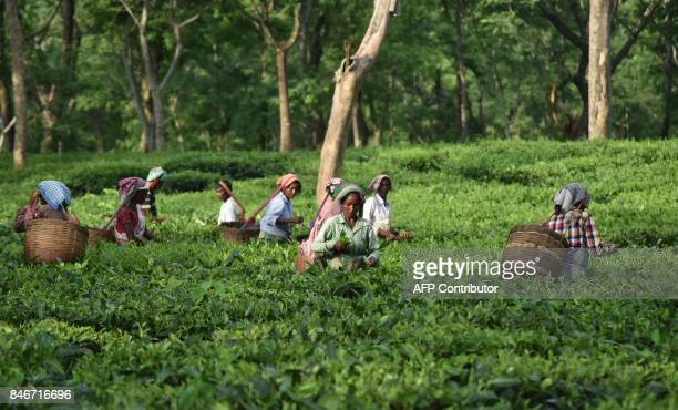 This September 13 2017 photo shows Indian tea workers plucking leaves at a tea plantation in Udalguri district of Assam some 110 km from Guwahati...