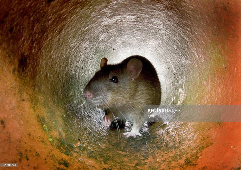This undated photo shows a rat in the a pipe in London Ageing sewers insufficient garbage collection a lack of resources to tackle the problem it all...
