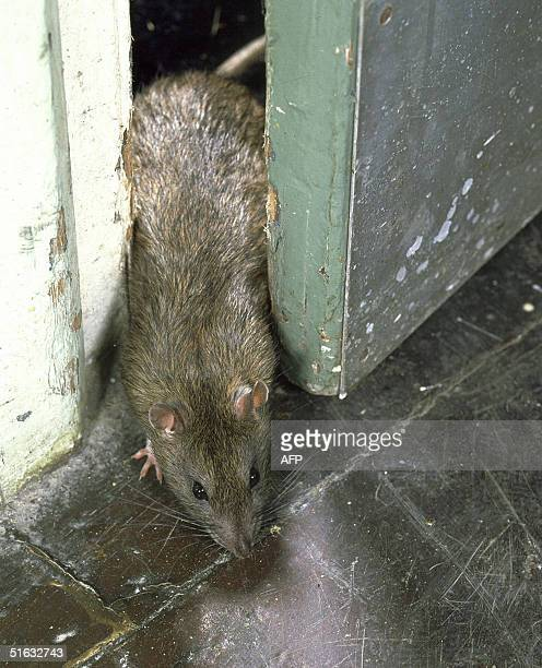 This undated photo shows a rat passing through a door in London Ageing sewers insufficient garbage collection a lack of resources to tackle the...