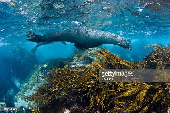 This young Guadalupe Fur Seal Arctocephalus townsendi was photographed in the shallows off Guadalupe Island Mexico